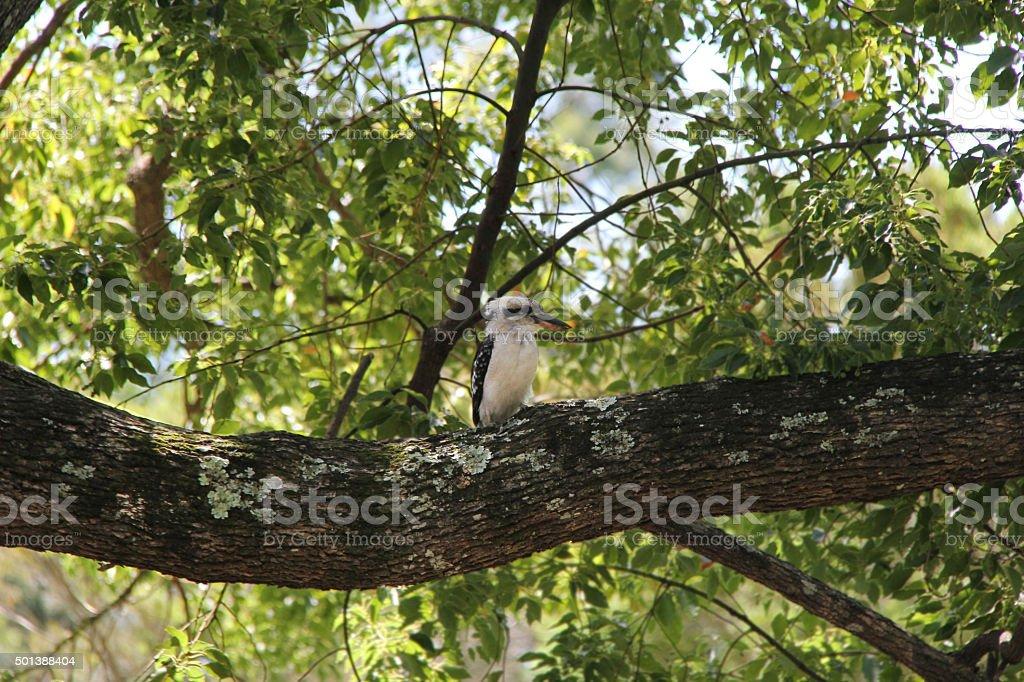 Cucaburra foto de stock libre de derechos