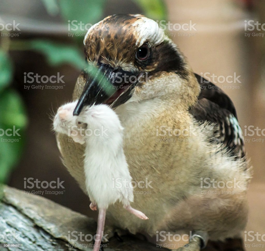 Kookaburra's Lunch stock photo