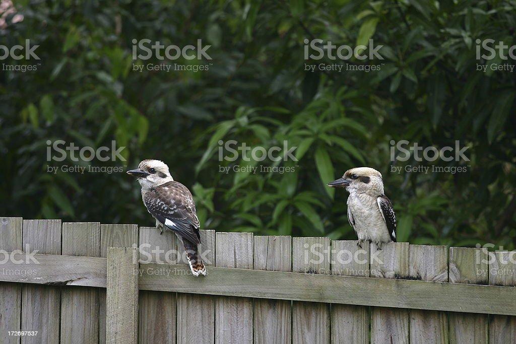 kookaburras royalty-free stock photo