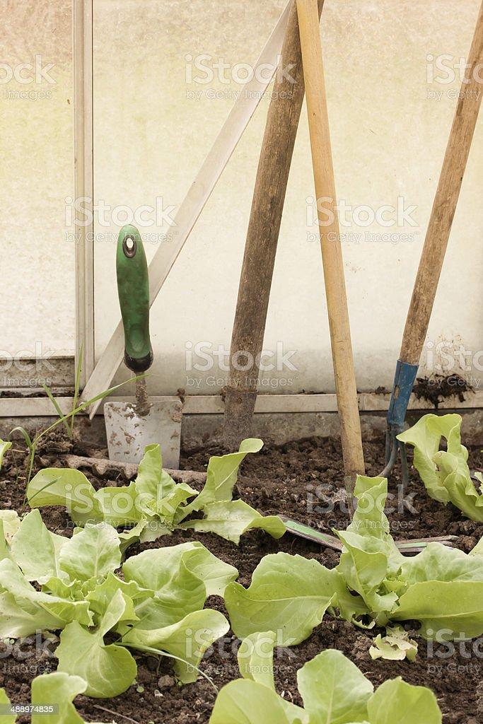 Kopfsalat pflanzen stock photo