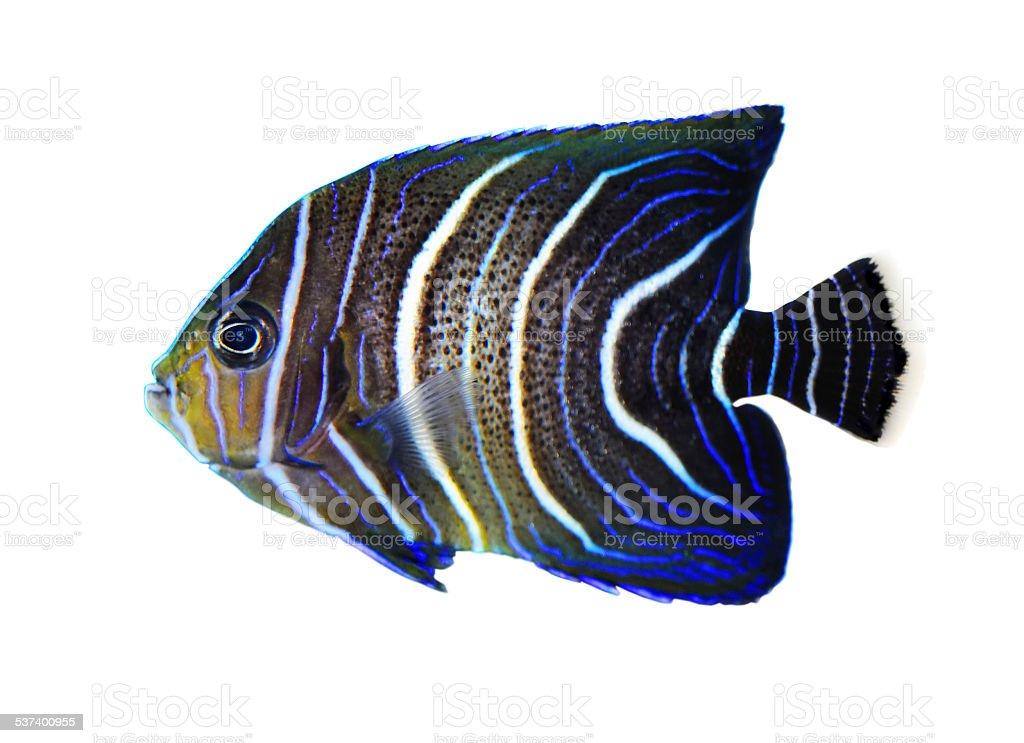 Koran angelfish stock photo