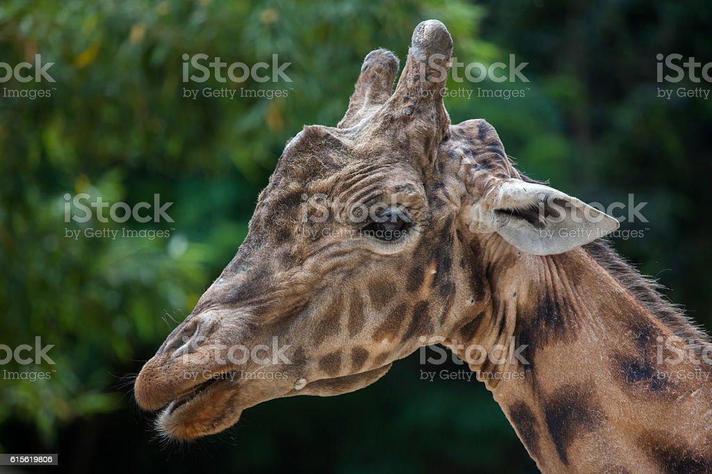 Kordofan giraffe (Giraffa camelopardalis antiquorum) stock photo