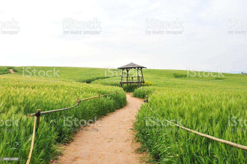 A Korean barley field stock photo