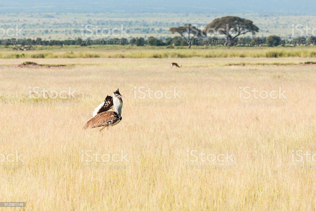 Kori Bustard and Gazelle stock photo