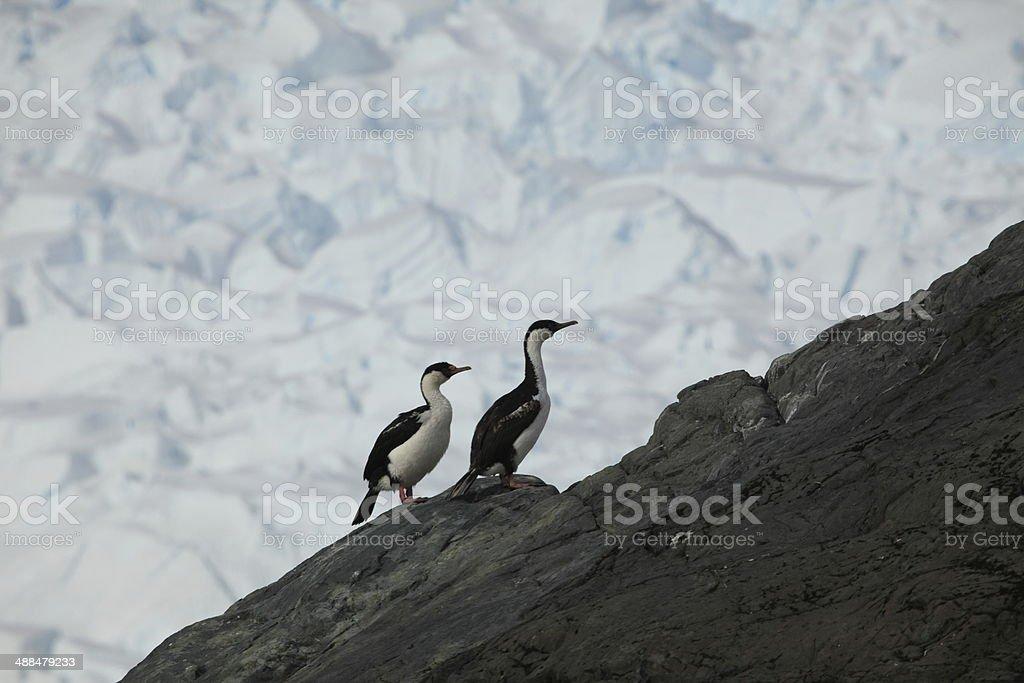 Kormorane in der Antarktis stock photo