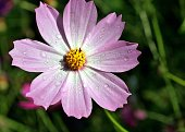 kosmeya or cosmos pink flower with drops of dew
