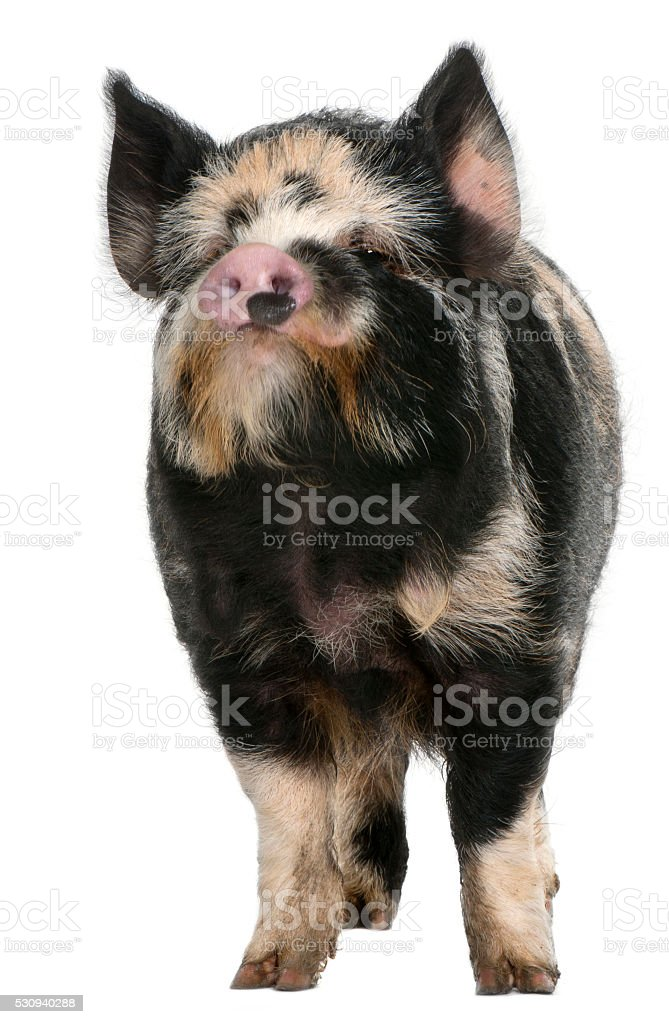 Kounini pig in front of white background stock photo