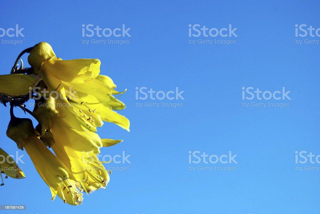 Kowhai Bloom, Spring royalty-free stock photo