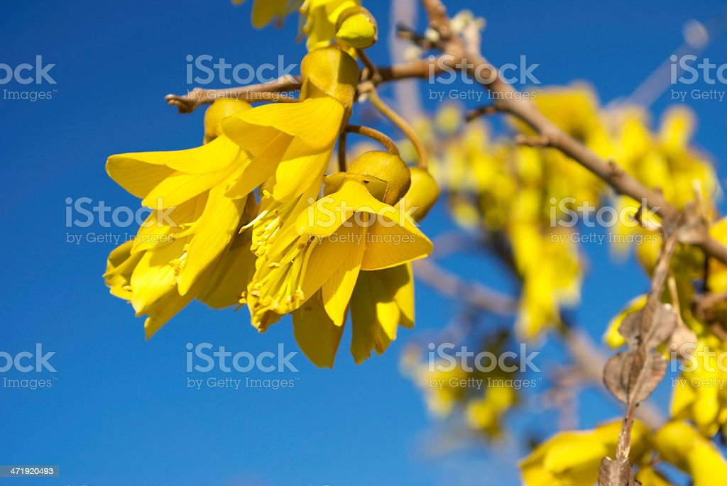 Kowhai Bloom, Spring stock photo