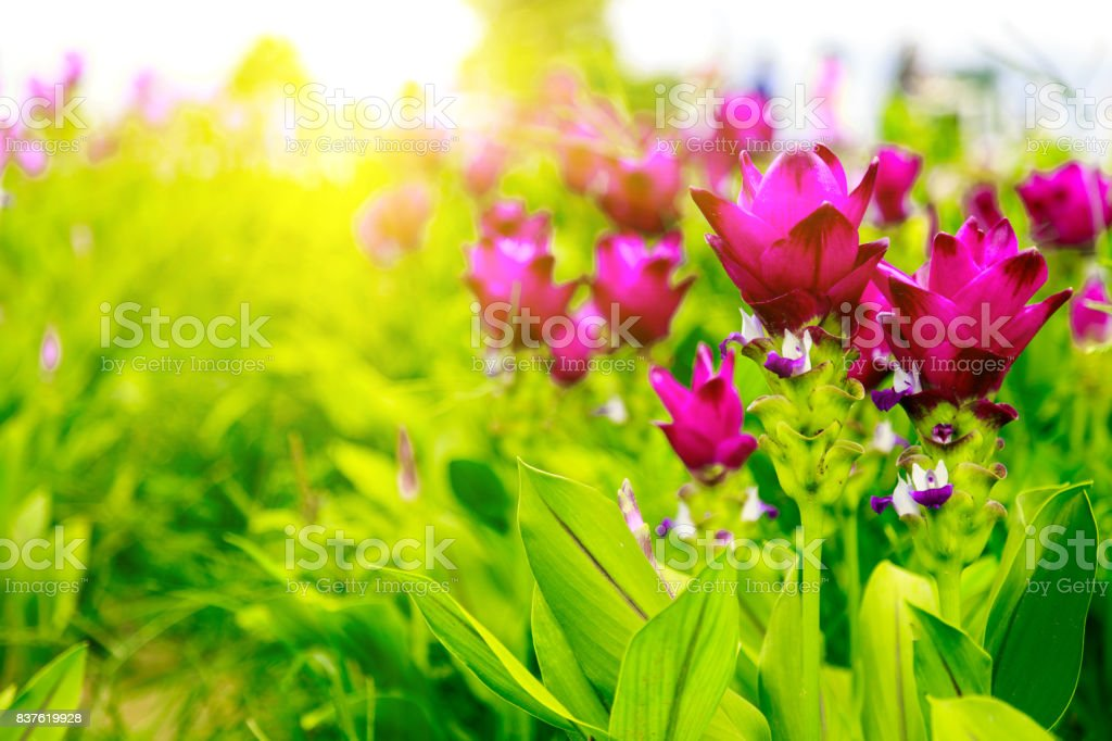 Krachai flower.Natural flower field.Pink flowers on the square.close up stock photo