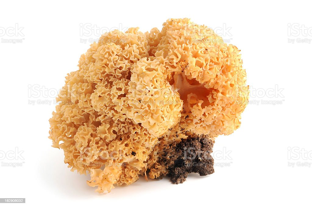 Krause Glucke (Sparassis crispa) - Sparassis or cauliflower mushroom stock photo