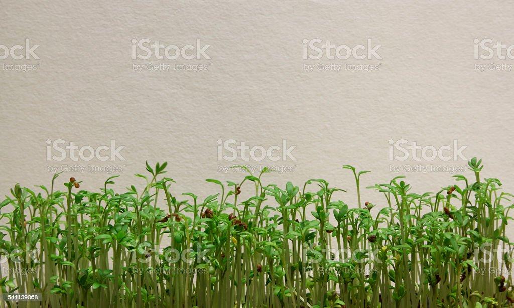 Kresse vor Wand stock photo