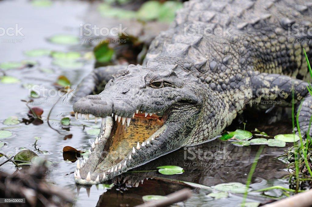 Krokodil stock photo