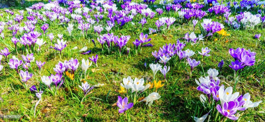 Krokusblüte im Frühling stock photo