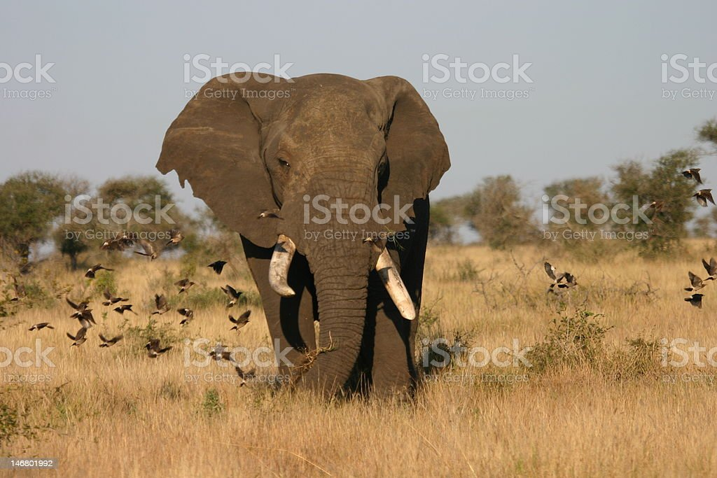 Kruger Bull Elephant 2 stock photo