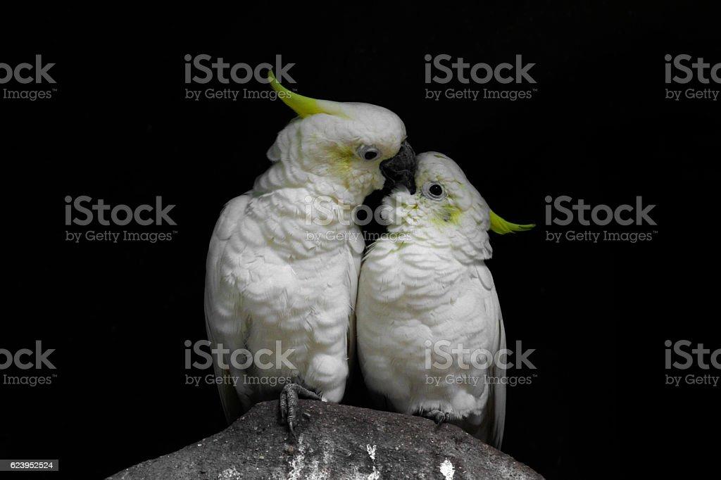 Küssendes Gelbhaubenkakadu-Paar stock photo