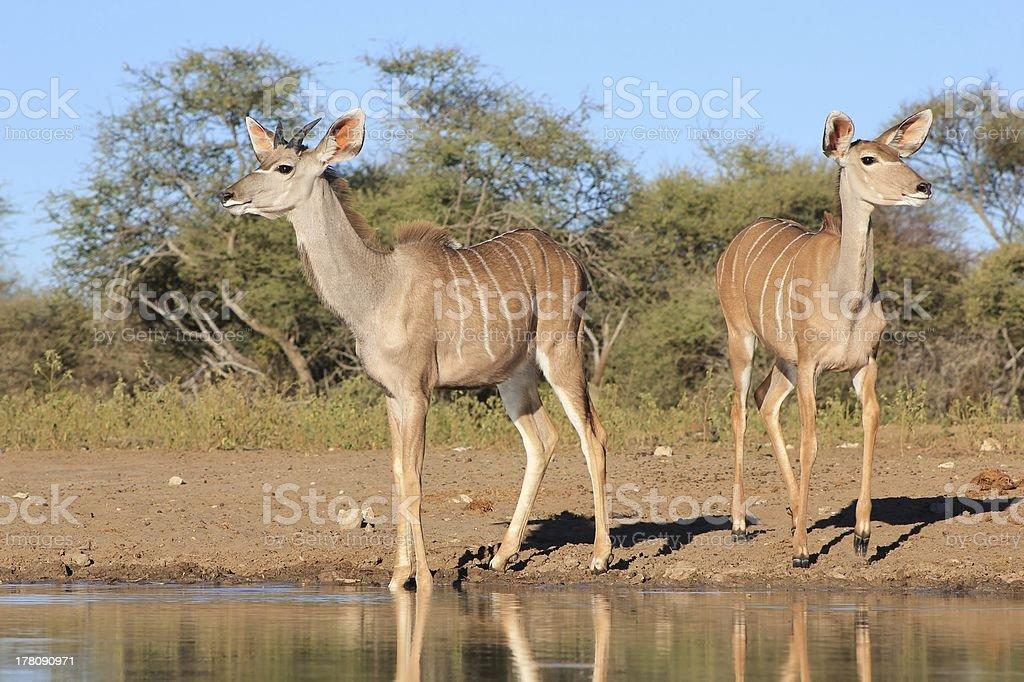Kudu Antelope - African Wildlife of Grace and Elegance royalty-free stock photo