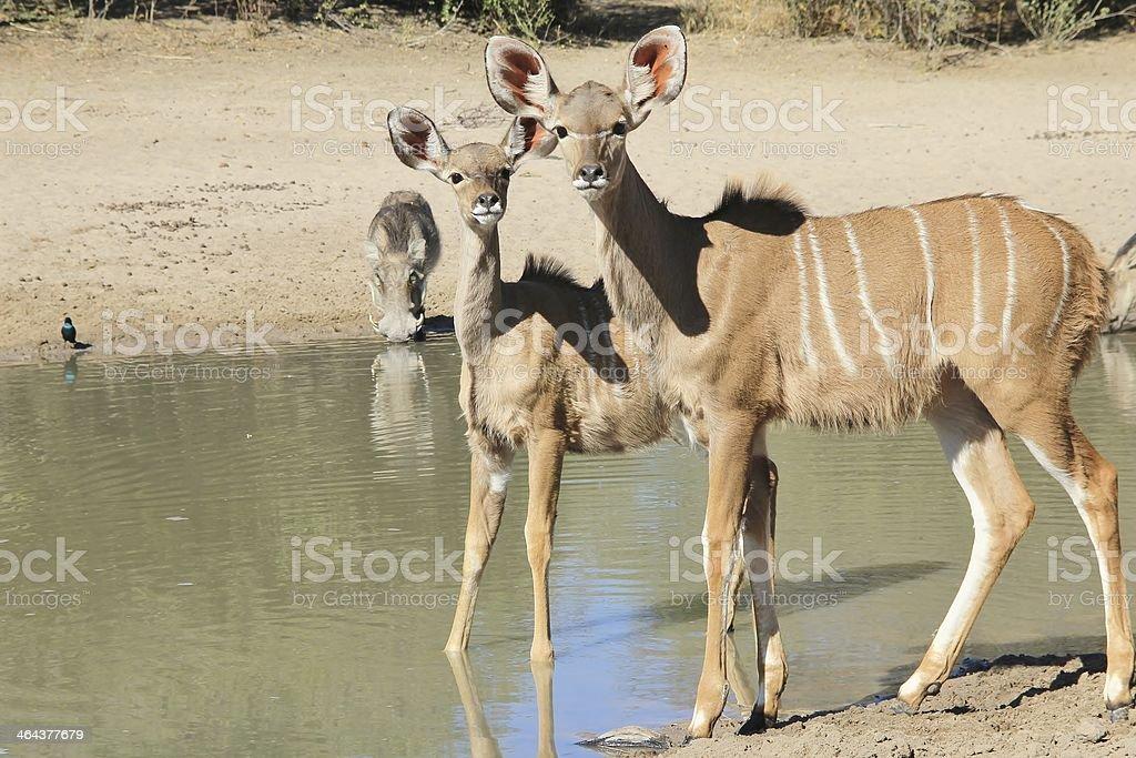 Kudu Antelope - Animal Babies from Africa stock photo
