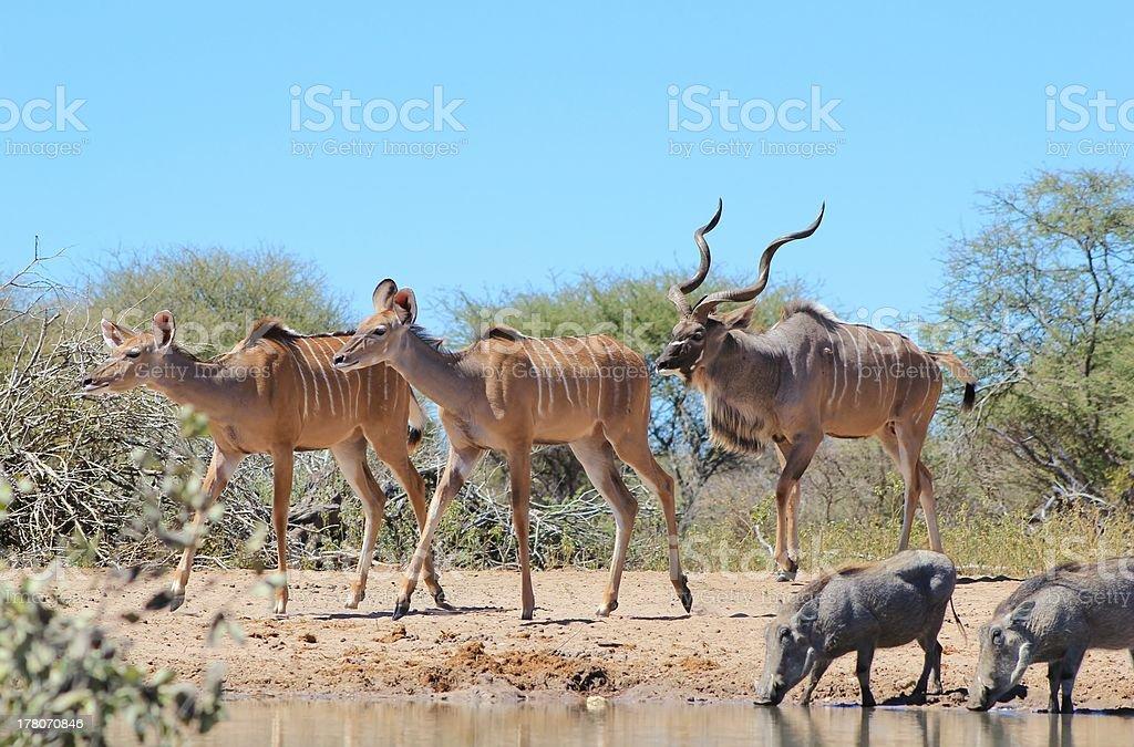 Kudu Antelope Family from Africa royalty-free stock photo