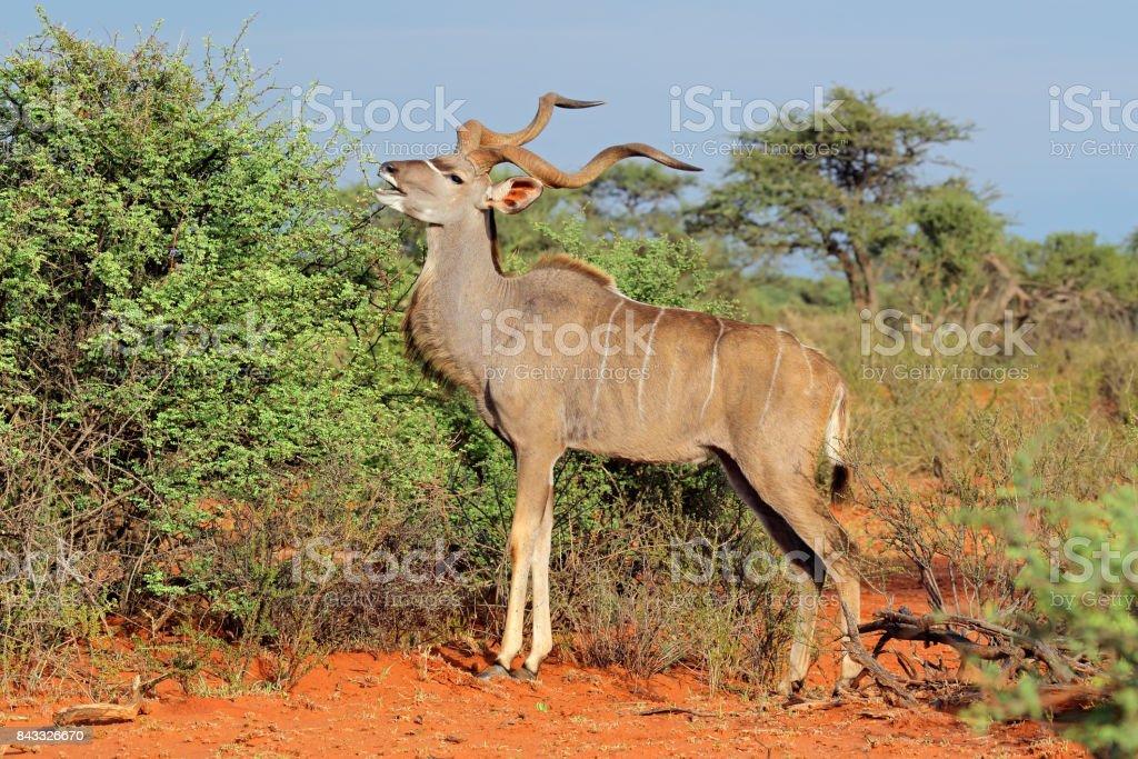 Kudu antelope in natural habitat stock photo