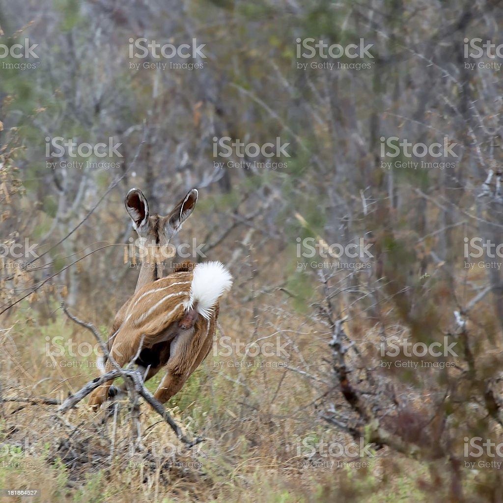 Kudu Antelope royalty-free stock photo