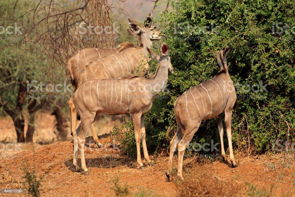 Kudu antelopes feeding stock photo