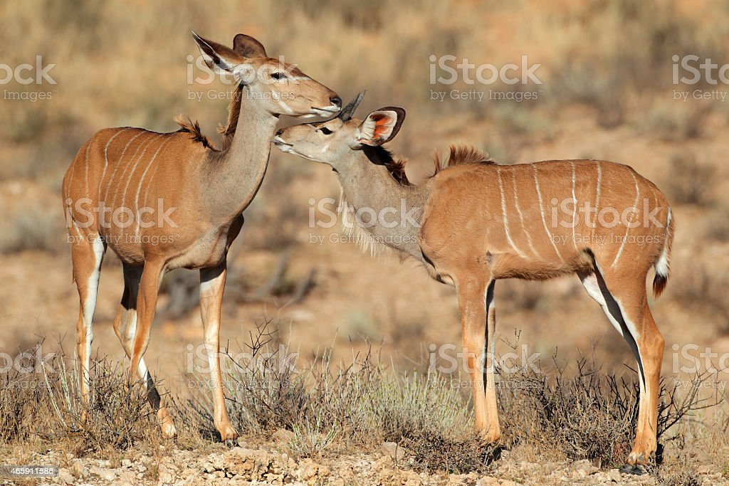 Kudu antelopes stock photo