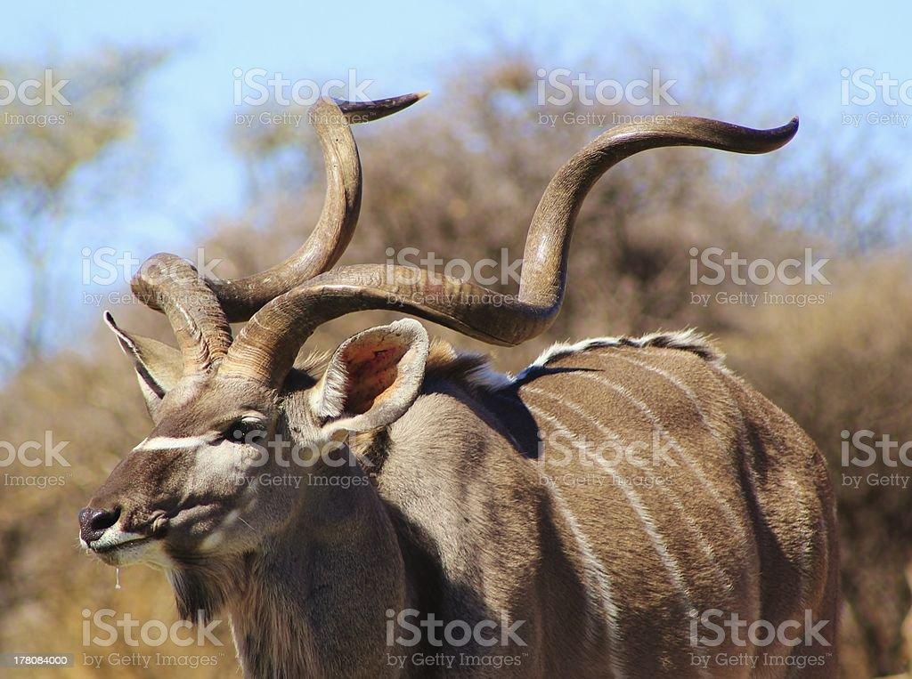 Kudu Bull - African Antelope of Elegant Grace royalty-free stock photo