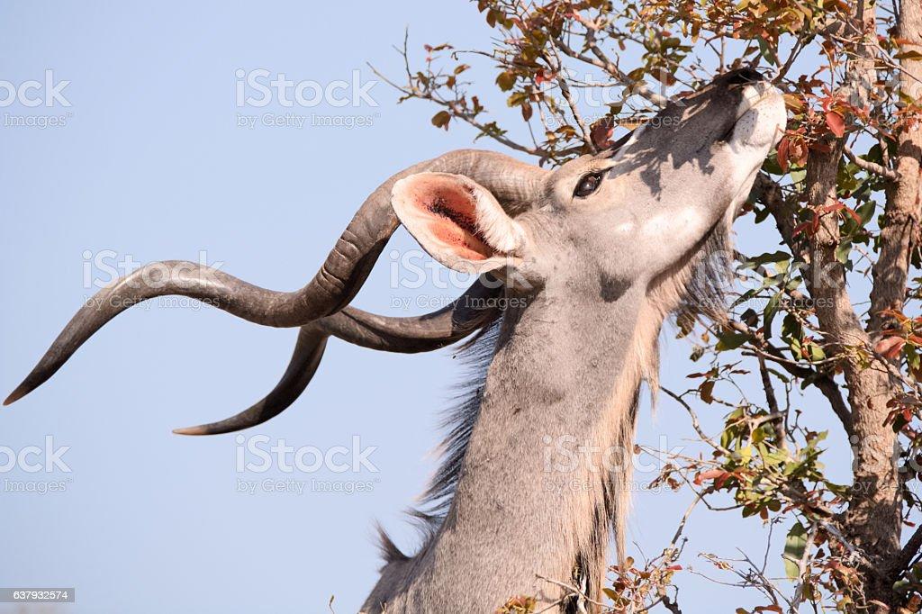 Kudu bull browsing stock photo