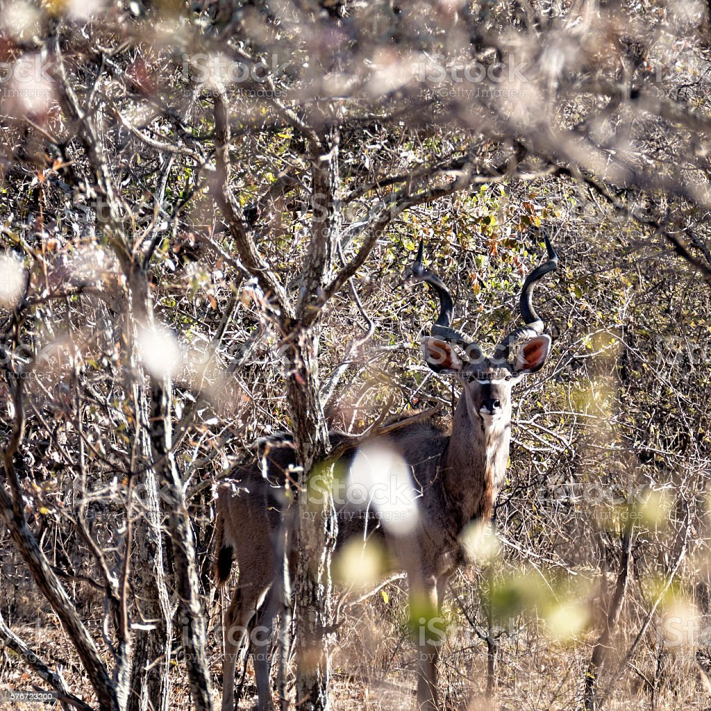 Kudu bull hiding in the bushes, Waterberg,Limpopo,South Africa stock photo