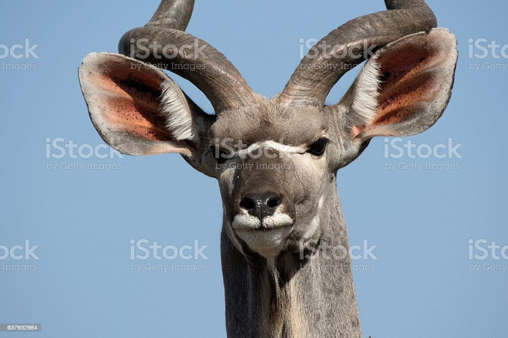 Kudu bull in a stare down match stock photo