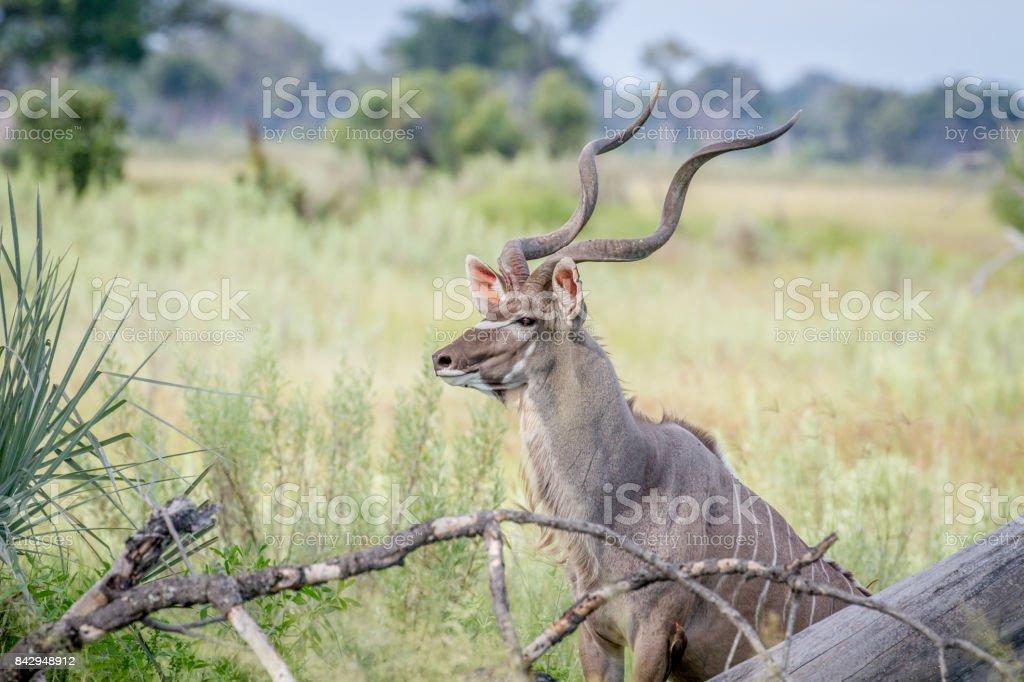 Kudu bull in between high grasses. stock photo