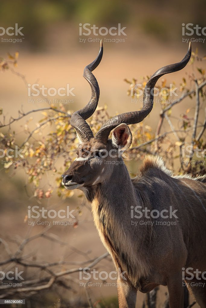 Kudu bull in the kruger national park stock photo