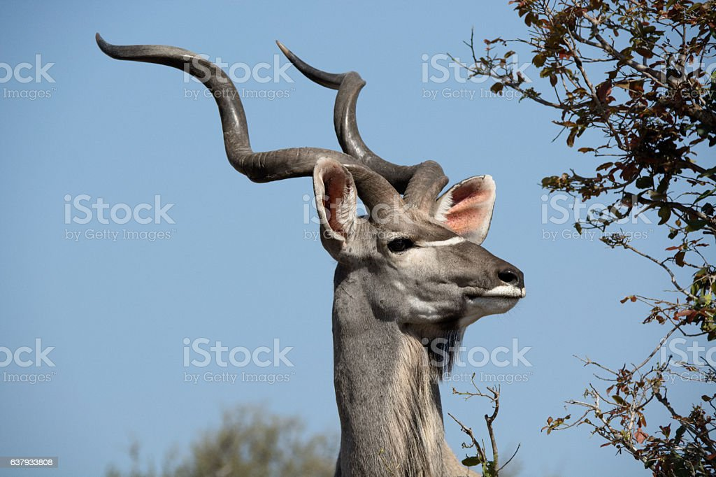 Kudu bull staring intently into the surrounding bush stock photo