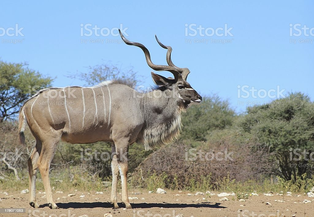 Kudu Bull - The Grey Ghost of Africa royalty-free stock photo