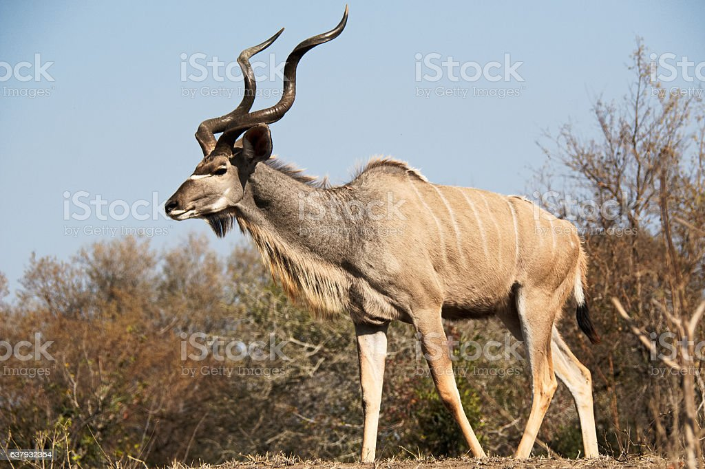 Kudu bull with large horns strolling stock photo