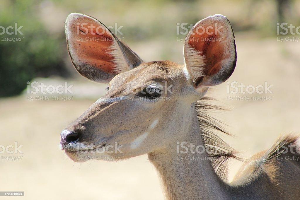 Kudu Ears of Mother Earth, Elegantly Alert royalty-free stock photo