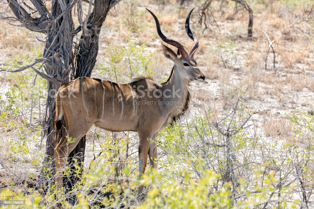 Kudu, Etosha National Park, Namibia, Africa stock photo