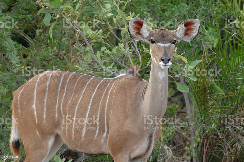 Kudu female stock photo