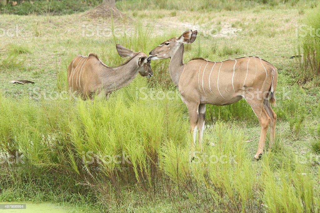 Kudu Grooming stock photo