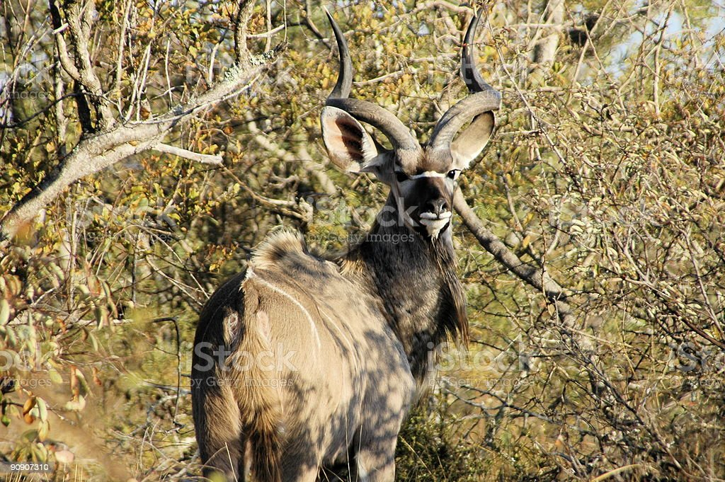 Kudu in South Africa royalty-free stock photo