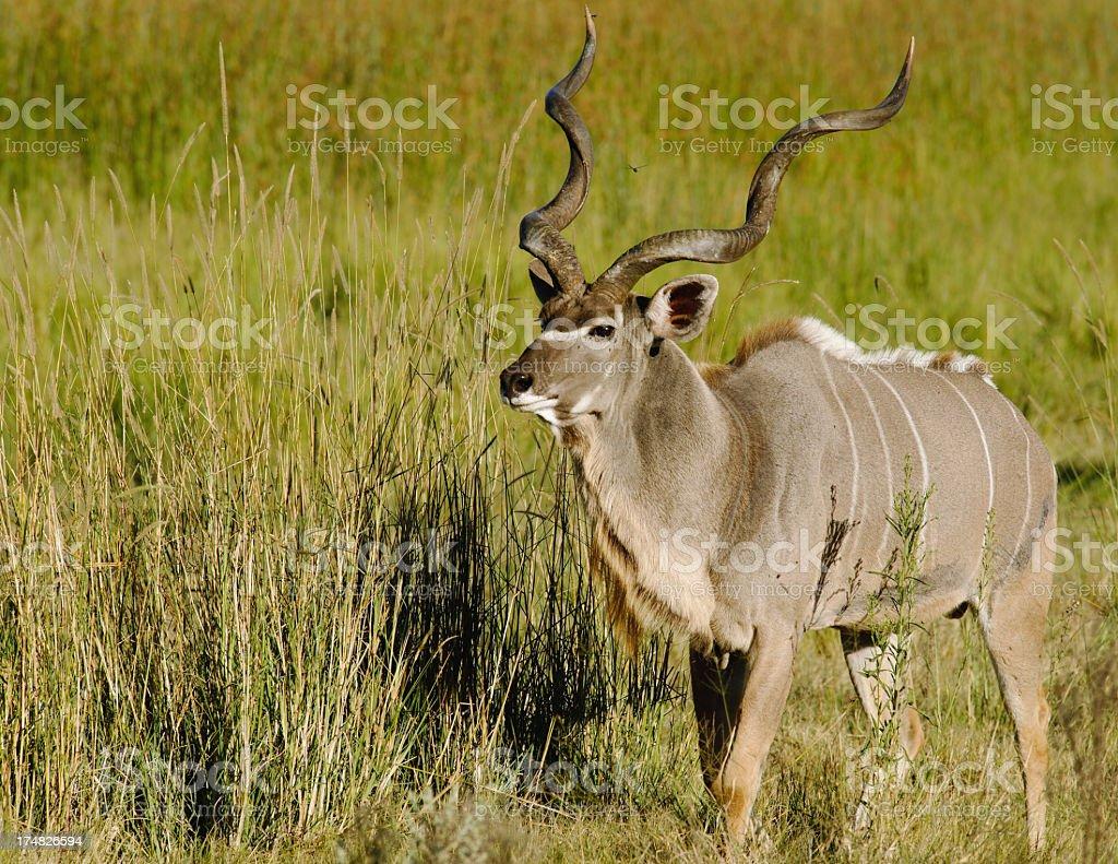 Kudu male stock photo