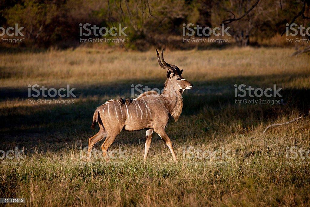 Kudu - Okavango Delta - Botswana stock photo