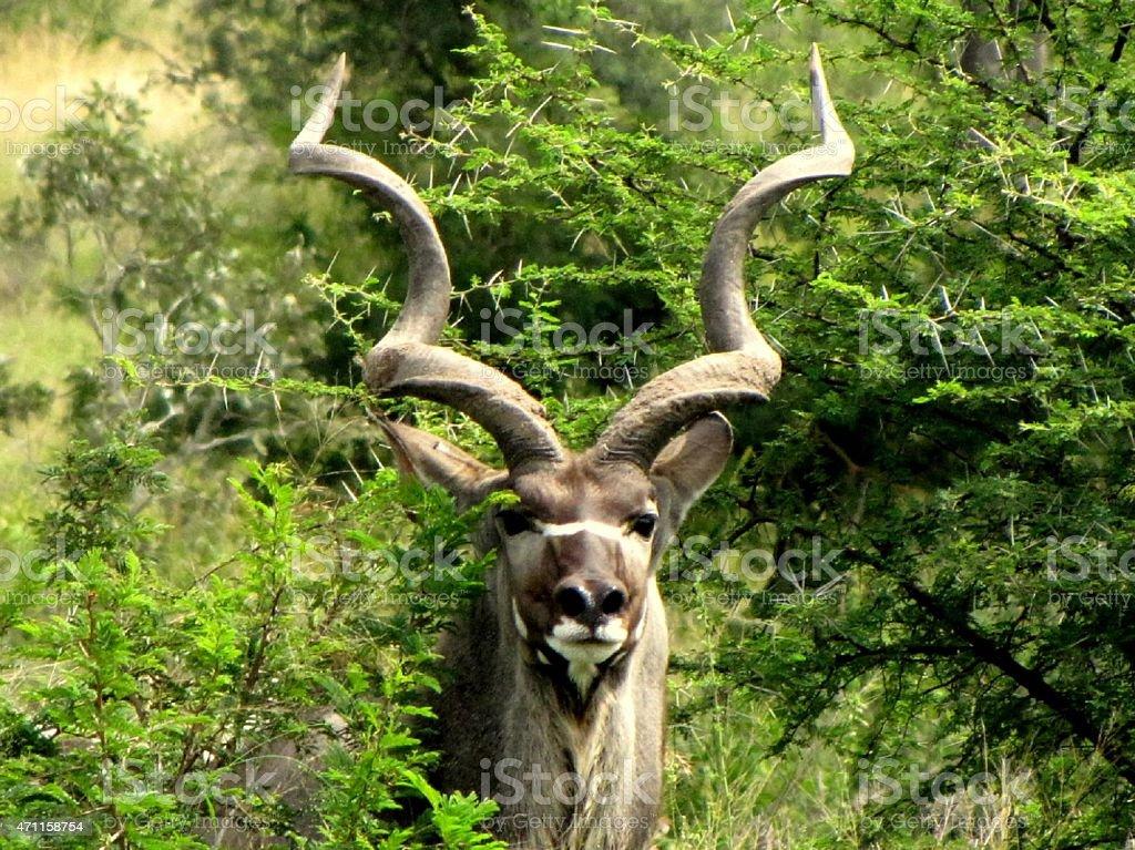 Kudu foto stock royalty-free