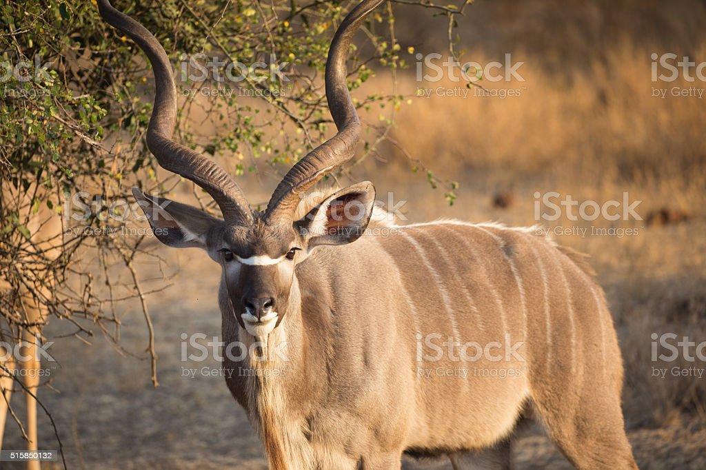 Kudu stock photo
