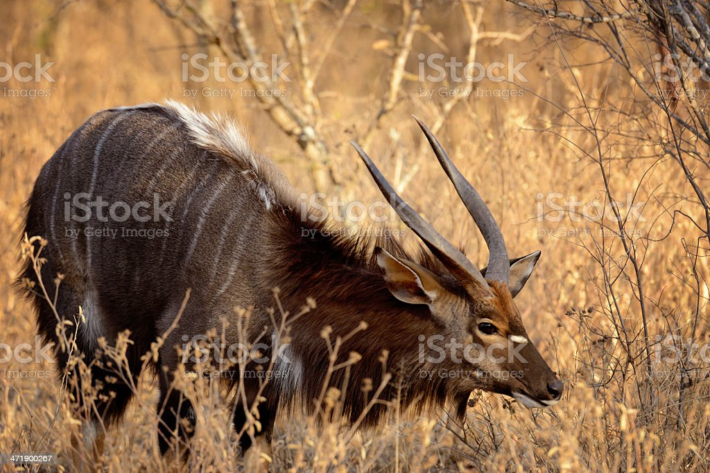 Kudu Standing In South Africa's Kruger Park's Bush royalty-free stock photo