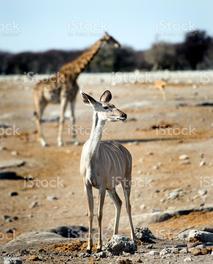 Kudu standing with giraffe in background in Etosha stock photo