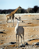 Kudu standing with giraffe in background in Etosha