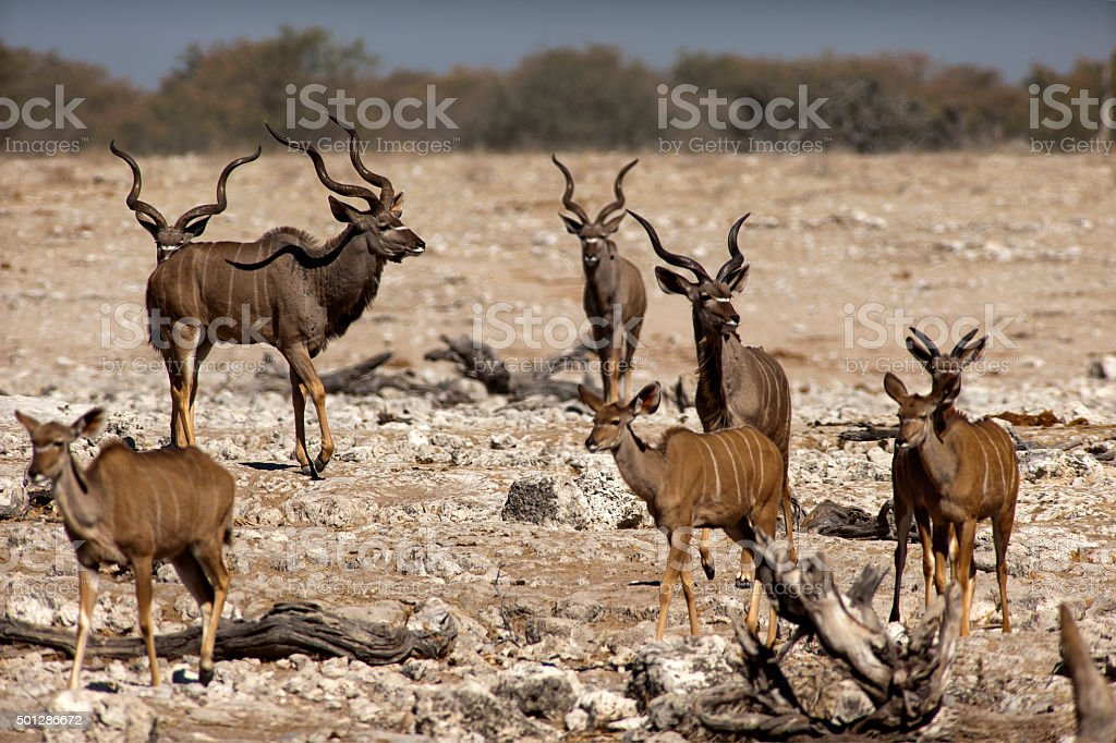 Kudus at Okaukuejo waterhole, Etosha National Park, Namibia stock photo