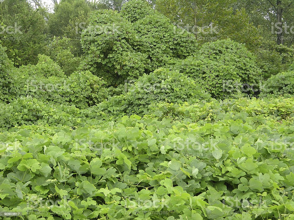 kudzu royalty-free stock photo